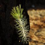 piccolo germoglio di pino