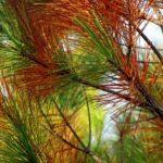 Il Matsucoccus feytaudi attacca i pini di Principina