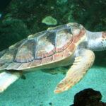 Liberate tre tartarughe caretta carettamarine a Marina di Grosseto