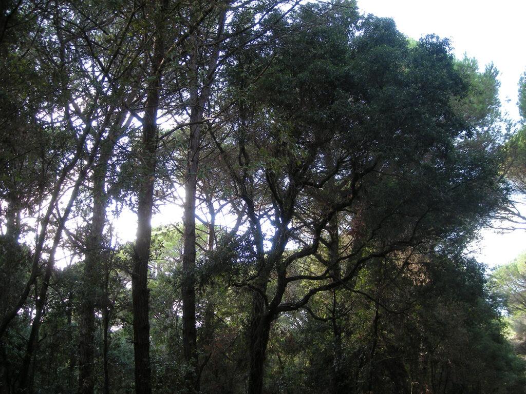 Leccio nel bosco del parco Naturale della Maremma