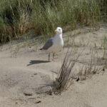 Un gabbiano sulle dune del Parco Regionale della Maremma
