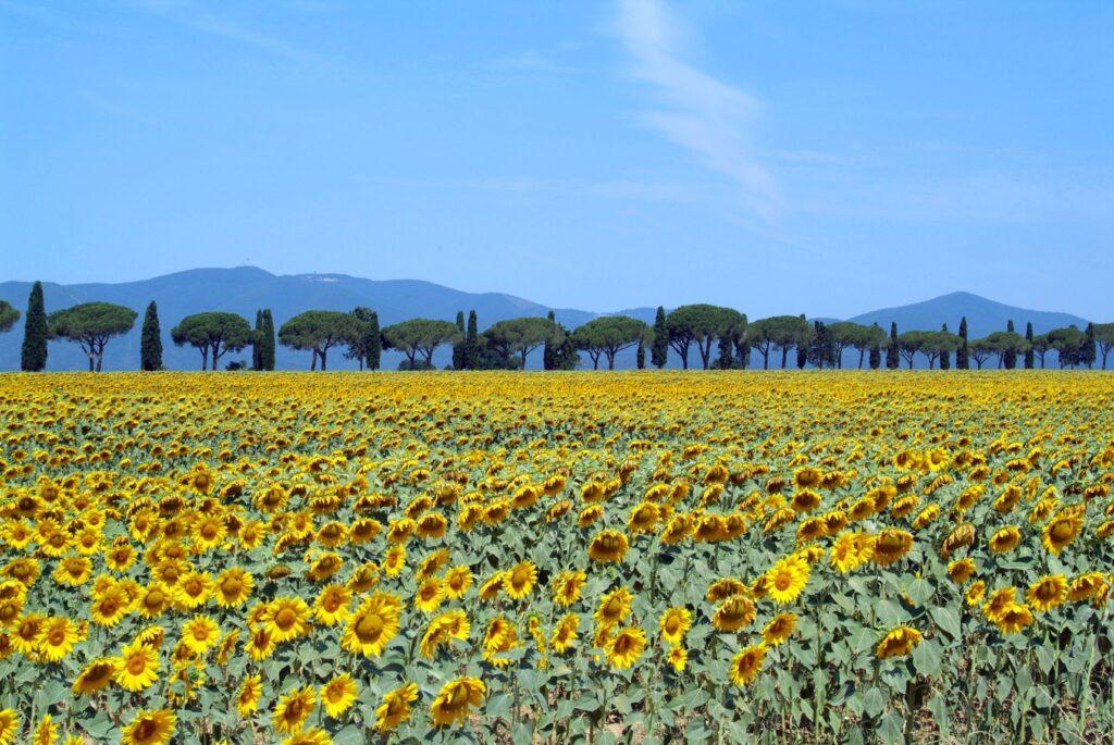 Campi di Girasoli nella Maremma Toscana